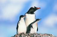 高清温馨企鹅家庭图片_14张