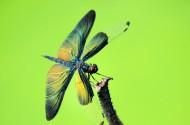 黑丽翅蜻图片_10张