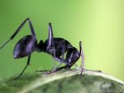 多变形态黑蚂蚁图片_14张