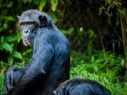 黑猩猩图片_15张