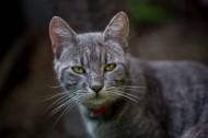 花灰色猫咪图片_10张