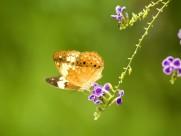 蝴蝶图片_43张