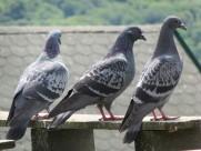 灰色的鸽子图片_16张