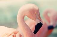 漂亮的火烈鸟图片_10张