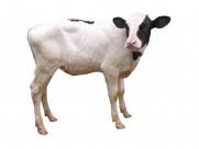 健壮的小牛犊图片_20张