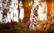 可爱的大麦町犬图片 _11张
