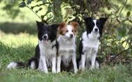 可爱的边境牧羊犬/边牧图片_7张
