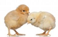 可爱的小鸡图片_8张