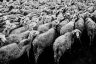羊群图片_17张