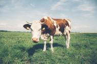 好看的奶牛图片_10张
