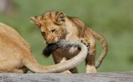 可爱小狮子图片_7张