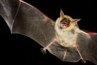 可怕的吸血蝙蝠图片_14张