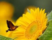葵花上的蜂鸟鹰蛾图片_6张