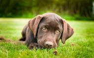 黑色拉布拉多犬图片_9张
