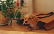 腊肠犬图片_35张