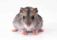 老鼠图片_11张