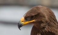 凶猛的老鹰头部特写图片_8张