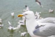 海鸥图片_16张