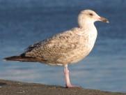 海鸥鸟类图片_22张