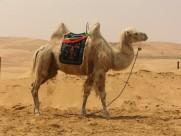 骆驼高清图片_15张