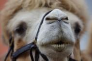 骆驼的面部图片_7张