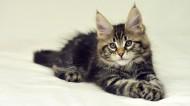可爱的缅因库恩猫图片_18张