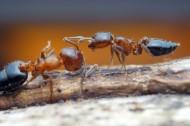 微距蚂蚁图片_11张