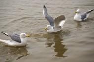 水上游玩的海鸥图片_10张