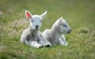 绵羊图片_5张