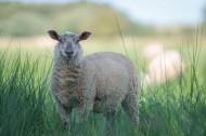绵羊图片_12张