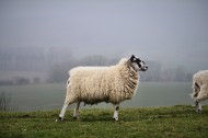 圆润可爱的绵羊图片_11张