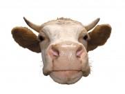 牛的头部特写图片_15张