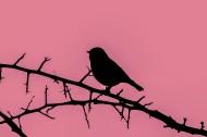 树枝上的麻雀剪影图片_18张