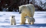 北极熊图片_12张