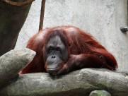 猩猩图片_12张