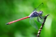 蜻蜓特写图片_8张