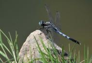 蓝蜻蜓图片_5张