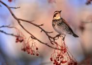秋冬季树枝上的小鸟图片_37张