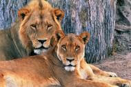 狮子图片_18张