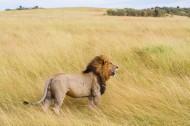 勇猛的狮子图片_10张