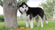 西伯利亚雪橇犬图片_12张