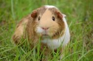 可爱的豚鼠图片_12张