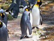 性情温顺的王企鹅图片_15张