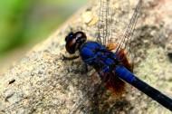 微距蜻蜓图片_5张