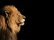 威严的狮子图片_6张