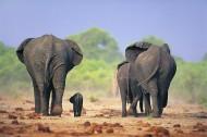 温馨大象家庭图片_24张