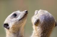 喜爱群居的狐獴图片_15张