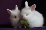 雪白的小白兔图片_13张
