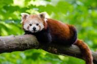 可爱的小熊猫图片_15张