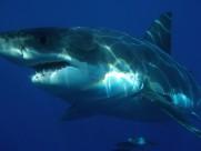 凶猛的鲨鱼图片_8张